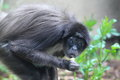 Variegated spider monkey Royalty Free Stock Photo