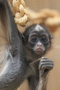 Variegated spider monkey the juvenile of Stock Photos