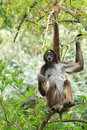 Variegated spider monkey on the tree Stock Photo