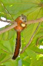 Variegated squirrel eating nut in leafy green tree costa rica Stock Photography