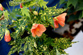 Variegated thompson s flowering maple abutilon pictum thompsonii shrub with green and yellow leaves and orange drooping Stock Photo