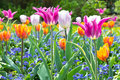 Variegated tulip flowers forget me not with in purple orange and pink copy space Stock Photos