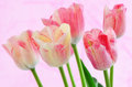 Variegated tulips beautiful pink and cream on pale pink background Royalty Free Stock Images