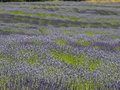 Varieties of lavender in bloom several types the herb Royalty Free Stock Photos