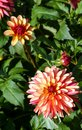 Variety of chrysanthemum crazy legs dahlia , one flower close-up Royalty Free Stock Photo