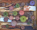 Variety of colorful sea urchins on twigs and wood Royalty Free Stock Photo