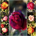Variety of garden roses. Autumn rosegarden. Royalty Free Stock Photo