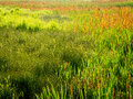 Variety of Marsh Grasses Royalty Free Stock Photo