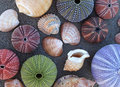 Variety of sea shells, urchins and clams Royalty Free Stock Photo