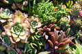 Variety of succulents in a drought-tolerant environment