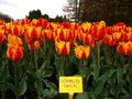 Variety tulip the unusual name of the new varieties of tulips Royalty Free Stock Photo