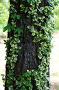 Varigated ivy growing on tree trunk up a Stock Images