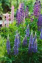 Various colorfull lupine flowers blooming in summer Royalty Free Stock Photo