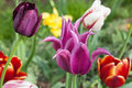 Various tulips in a garden wet Royalty Free Stock Photography