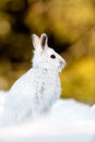 Varying hare in the snow Royalty Free Stock Photo
