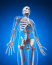 Vascular system d rendered illustration Stock Image