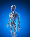 Vascular system d rendered illustration Stock Photo