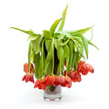 A vase full of droopy and dead flowers tulips isolated on white Royalty Free Stock Photos