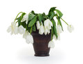 Vase full of droopy and dead flowers white tulips Royalty Free Stock Photos