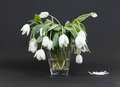 Vase full of droopy and dead flowers white tulips Stock Images
