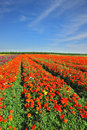 Vast fields of bright flowers Ranunculus Royalty Free Stock Photography