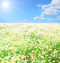Vast fields of daisies Royalty Free Stock Image