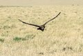 Vast grassland and the landing Vulture Royalty Free Stock Image