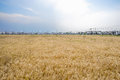 Vast wheat field before village in sunny summer afternoon Royalty Free Stock Photo