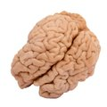 Real brain Royalty Free Stock Photo