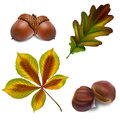 Vector acorn and chestnut with leaves