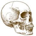 Engraving illustration of human skull