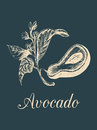 Vector avocado fruit,seed and branch illustration.Hand drawn botanical sketch of green tropical plant in engraving style