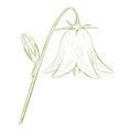 Vector bell-flower. Stock Photos