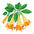 Vector branch with Brugmansia or Angels Trumpets. Outline orange flower, bud and green leaves isolated on white background. Royalty Free Stock Photo