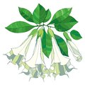 Vector branch with Brugmansia arborea or Angels Trumpets flowers. Outline flower, bud and green leaves isolated on white. Royalty Free Stock Photo