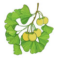 Vector branch with outline Gingko or Ginkgo biloba tree. Bunch with green leaf and fruit isolated on white background. Royalty Free Stock Photo