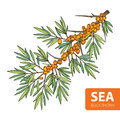 Vector branch of sea buckthorn or sandthorn. Sea buckthorn berries and leaves isolated on white.