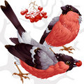 Vector bullfinch and ashberry Stock Photo