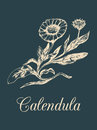 Vector calendula illustration with flowers. Hand drawn botanical sketch of marigold. Drawing in engraving style.