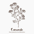 Vector camomile flower sketch illustration on white background. Nature hand drawn