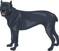 Vector cane corso dog breed isolated on white background Royalty Free Stock Photos