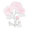 Vector chrysanthemum flower in vintage engraving style Royalty Free Stock Image
