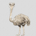 Vector closeup portrait of funny ostrich bird sketch Royalty Free Stock Image