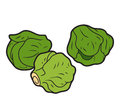 Vector color illustration, vegetables, Brussels sprouts
