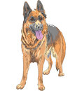 Vector color sketch dog german shepherd breed portrait of a smiles with his tongue hanging out Royalty Free Stock Photography
