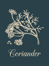 Vector coriander illustration with seeds and flowers. Hand drawn botanical sketch of Chinese parsley. Spice plant .