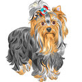 Vector cute pedigreed dog yorkshire terrier color sketch serious red and black with bow Stock Images