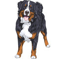 Vector dog breed Bernese mountain dog standing and