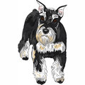 Vector dog breed miniature schnauzer black and sil serious cute color silver Stock Images