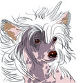 Vector Dog Chinese Crested breed Stock Image